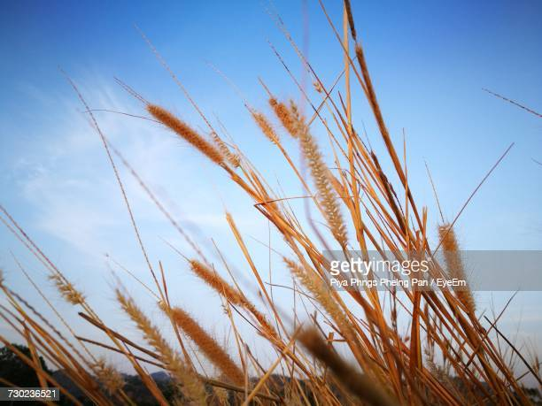 Low Angle View Of Grass On Field Against Blue Sky