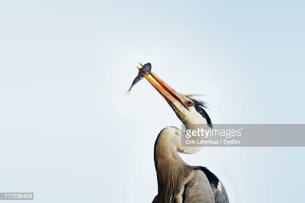 Low Angle View Of Gray Heron Feeding On Fish Against Clear Sky