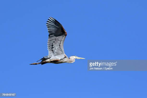 Low Angle View Of Great Blue Heron Flying Against Clear Blue Sky