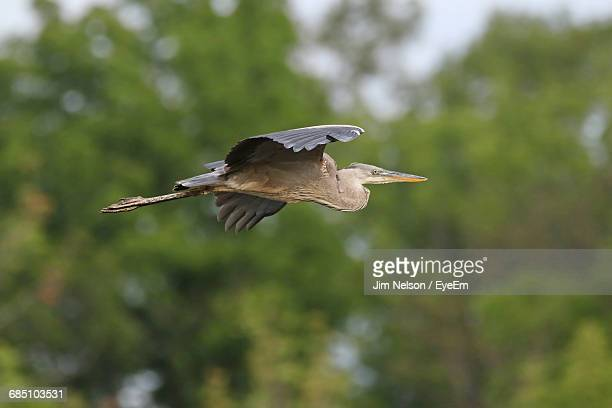 Low Angle View Of Great Blue Heron Flying Against Trees