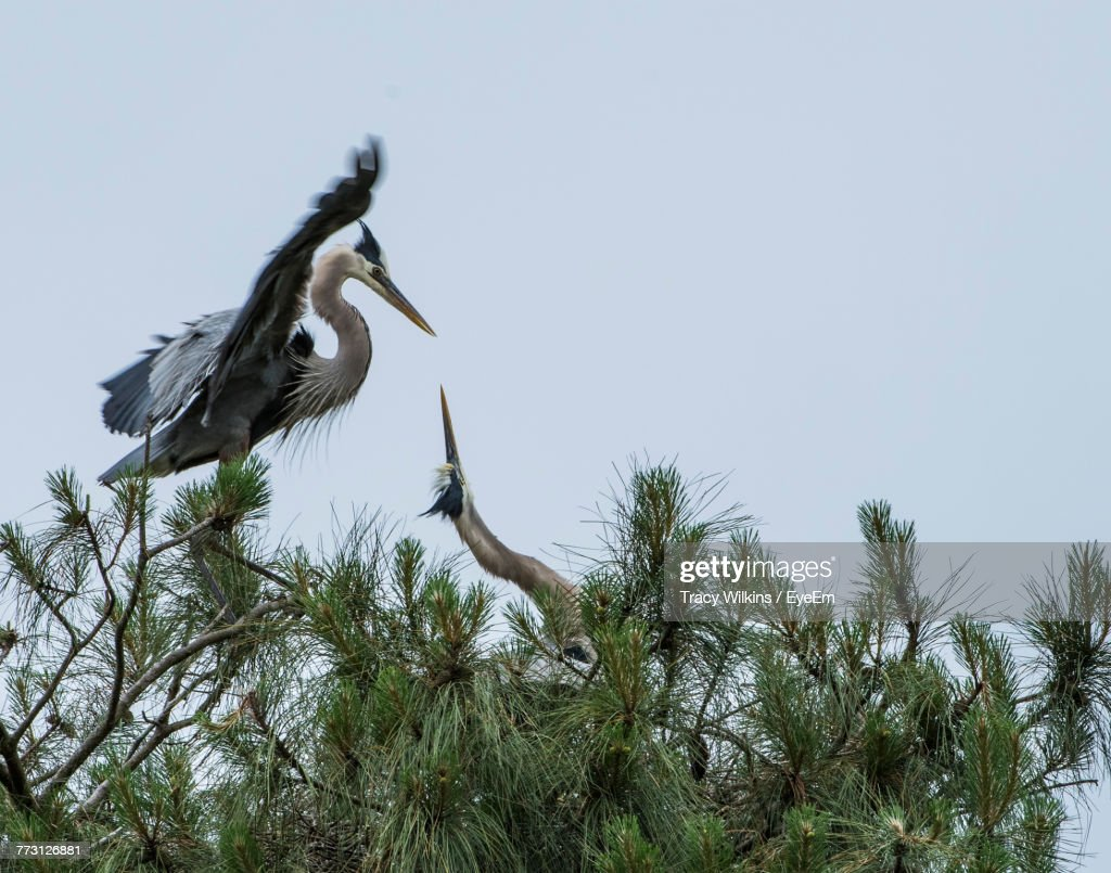 Low Angle View Of Great Blue Heron On Tree Against Sky : Photo