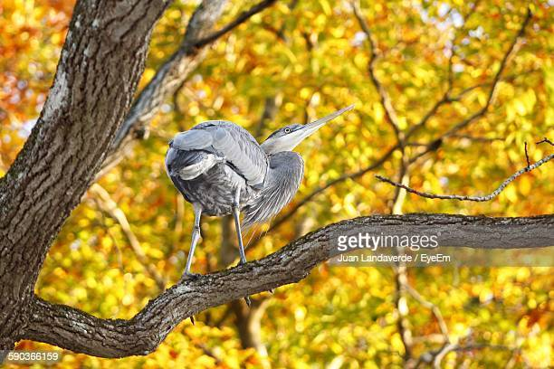 Low Angle View Of Great Blue Heron Perching On Tree During Autumn