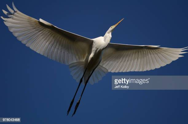 low angle view of great egret flying, waterford, wisconsin, usa - iowa_county,_wisconsin stock pictures, royalty-free photos & images