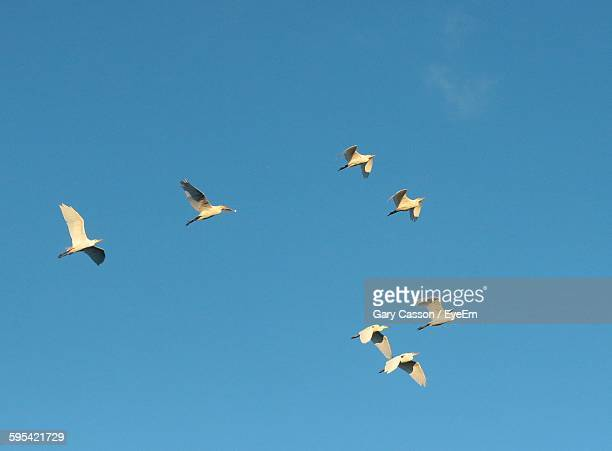 Low Angle View Of Great Egrets Flying Against Blue Sky