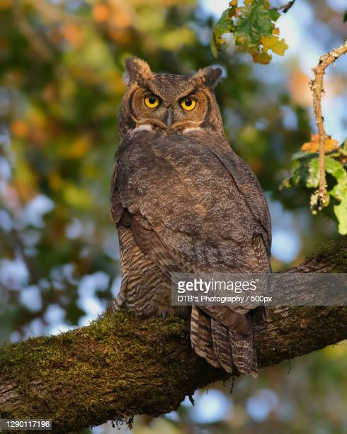 low angle view of great horned owl perching on branch - great horned owl stock pictures, royalty-free photos & images