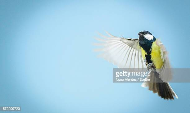 Low Angle View Of Great Tit Flying Against Clear Sky