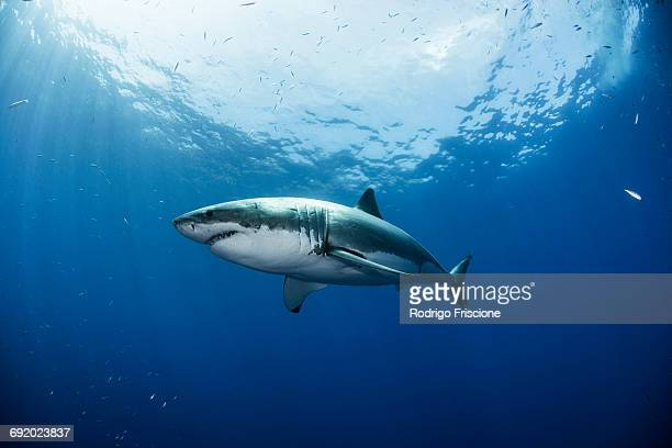 low angle view of great white shark, guadalupe, mexico - great white shark stock photos and pictures