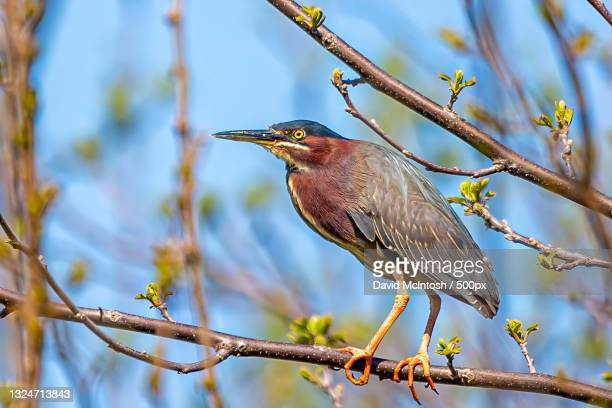 low angle view of green heron perching on branch,sarnia,ontario,canada - サルニア ストックフォトと画像