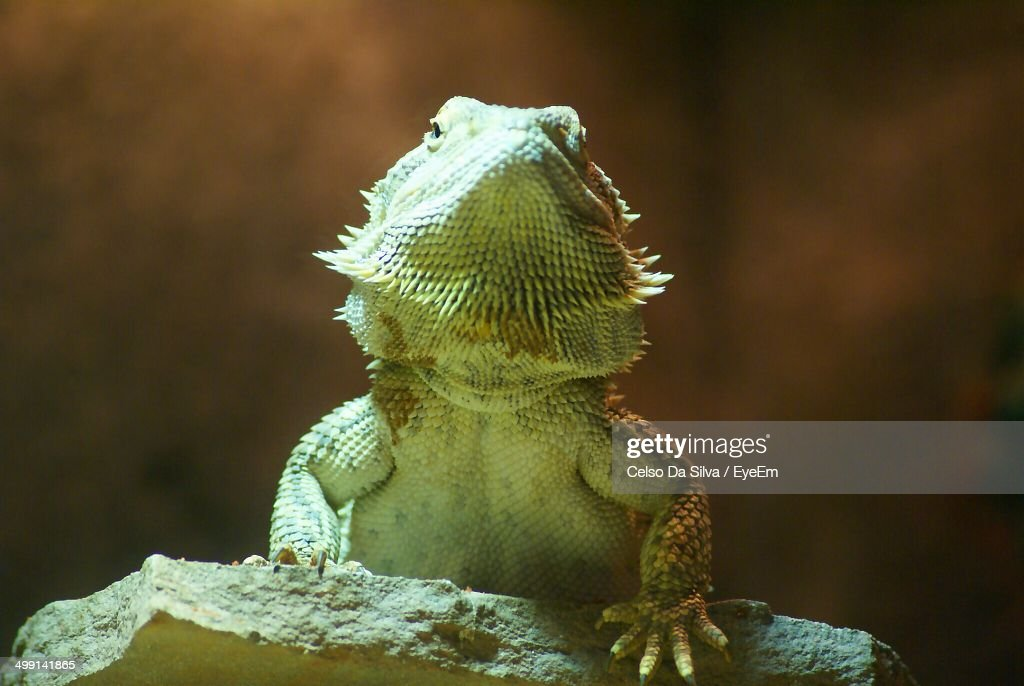 Low angle view of green iguana on rock : Stock Photo