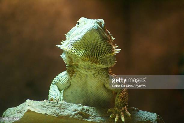 Low angle view of green iguana on rock