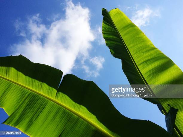 low angle view of green leaves on tree against sky - banana tree stock pictures, royalty-free photos & images