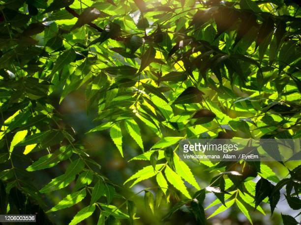 low angle view of green leaves - ニーム ストックフォトと画像