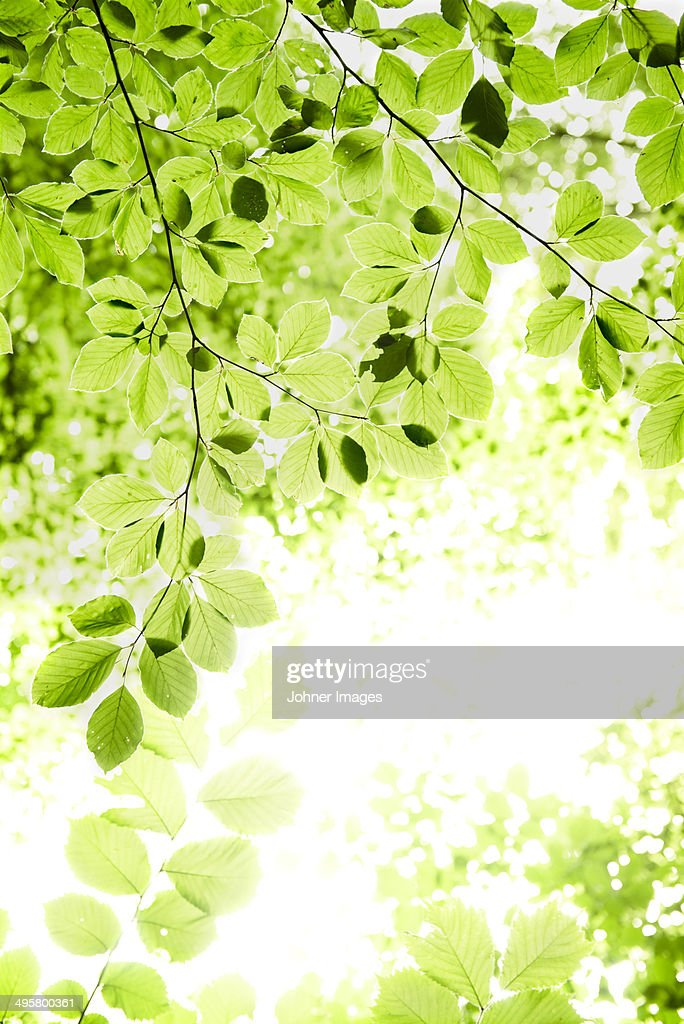 Low angle view of green leaves, Skanor, Skane, Sweden : Photo