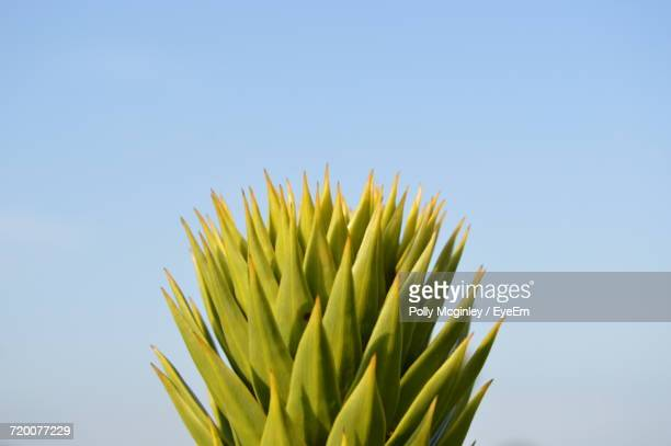 Low Angle View Of Green Tree Against Clear Sky