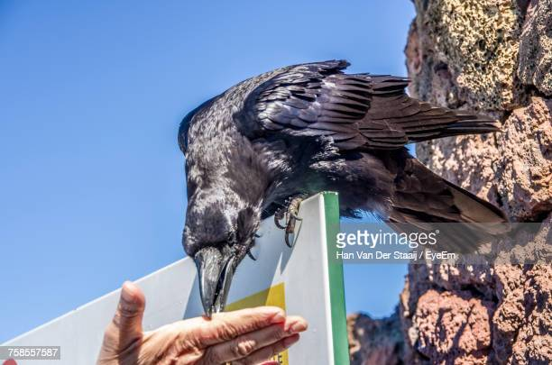 low angle view of hand feeding raven - crow bird stock photos and pictures