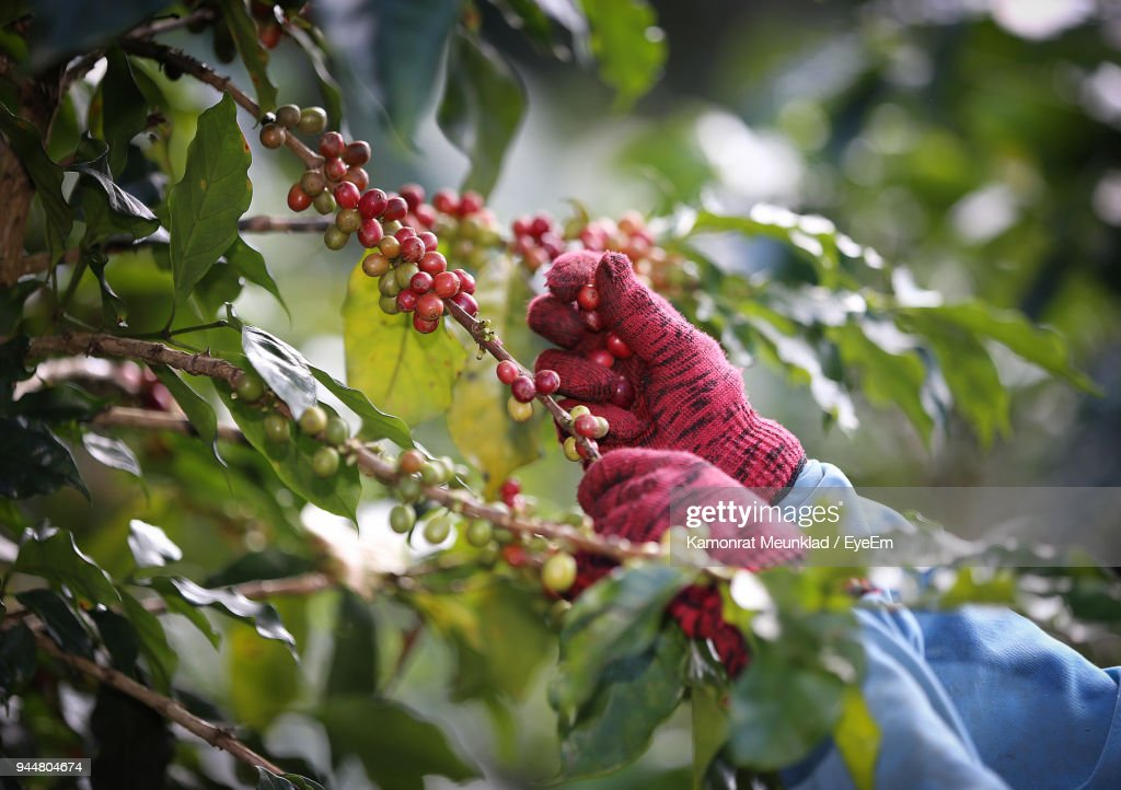 Low Angle View Of Hand Plucking Cherry On Tree : Stock Photo