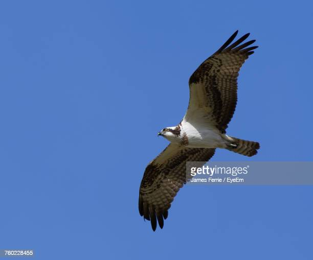 low angle view of hawk flying against clear blue sky - arizona bird stock pictures, royalty-free photos & images