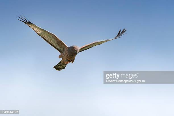 low angle view of hawk flying against clear sky - 翼を広げる ストックフォトと画像