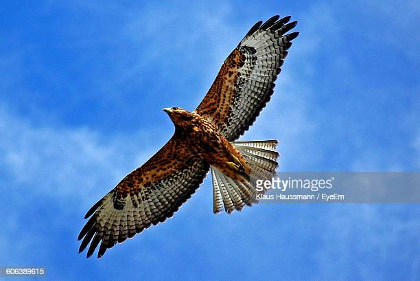 low angle view of hawk flying against sky - hawk stock photos and pictures