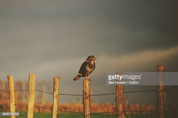 Low Angle View Of Hawk On Fence Against Cloudy Sky