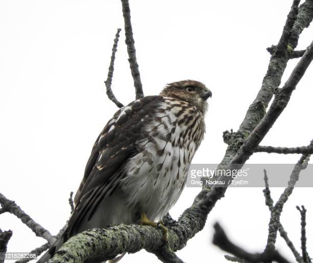 low angle view of hawk perching on tree - greg nadeau stock pictures, royalty-free photos & images