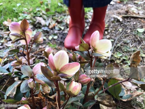 low angle view of hellebores and pink rain boots in a garden - ヘレボルス ストックフォトと画像