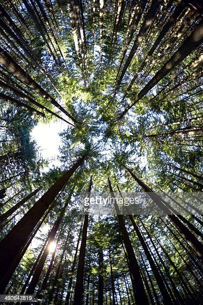 low angle view of hemlock grove, british columbia, canada - hemlock tree stock pictures, royalty-free photos & images
