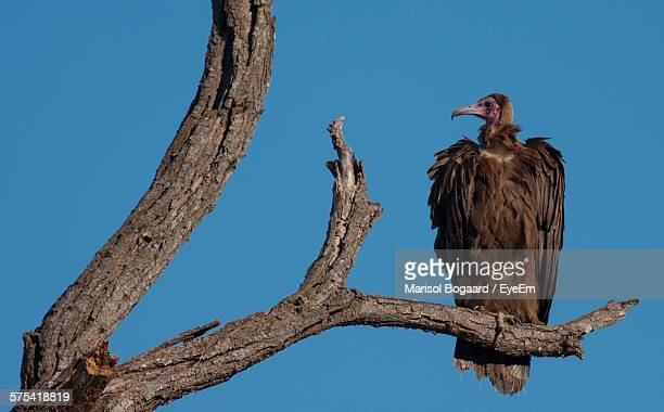 Low Angle View Of Hooded Vulture Perching On Dead Branch Against Clear Sky