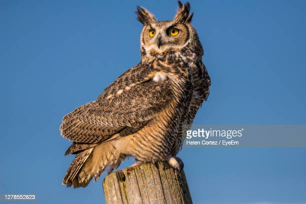 low angle view of  horned owl perching against clear blue sky - great horned owl stock pictures, royalty-free photos & images