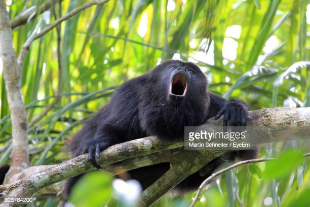 low angle view of howler monkey howling on branch - belize stock pictures, royalty-free photos & images