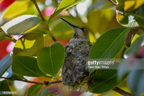 low angle view of hummingannas hummingbird perching on tree - anna's hummingbird stock pictures, royalty-free photos & images