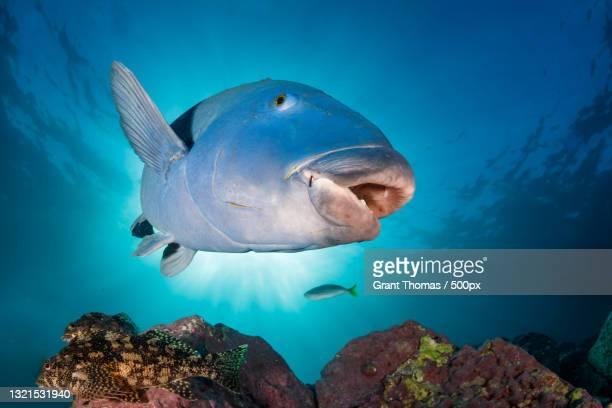 low angle view of humphead wrasse swimming in sea - メガネモチノウオ ストックフォトと画像