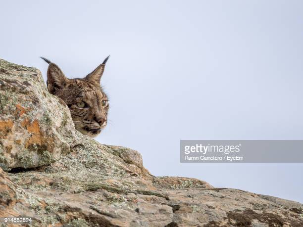 low angle view of iberian lynx on rock at donana national park - iberian stock photos and pictures