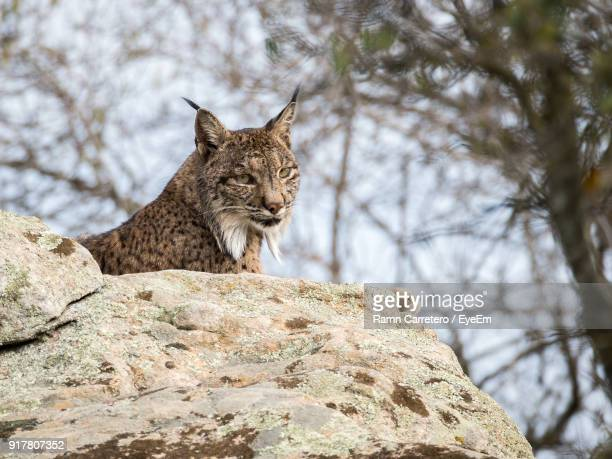 Low Angle View Of Iberian Lynx On Rock At Donana National Park