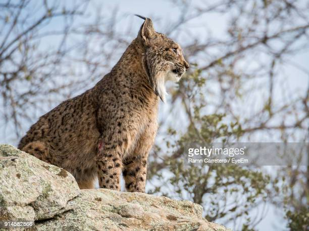 Low Angle View Of Iberian Lynx Sitting On Rock At Donana National Park