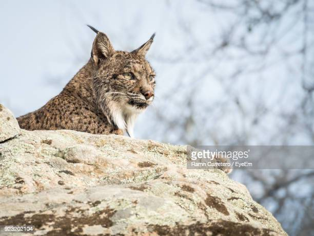 low angle view of iberian lynx sitting on rock at donana national park - donana national park stock photos and pictures