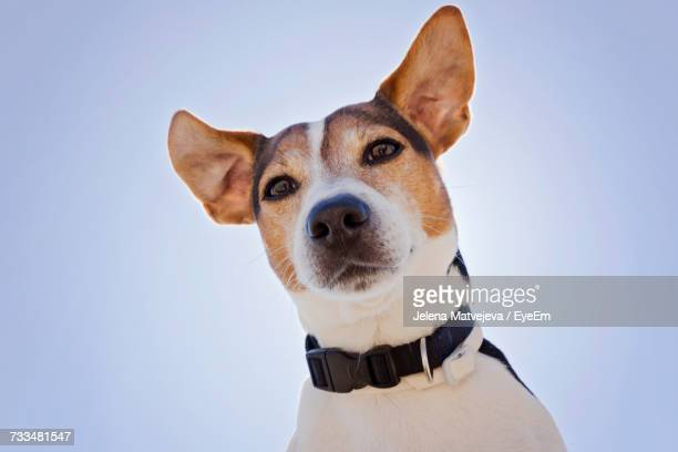 low angle view of jack russell against sky - jack russell terrier photos et images de collection