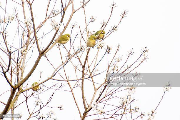Low Angle View Of Japanese White-Eye Birds Perching On Tree Against Clear Sky