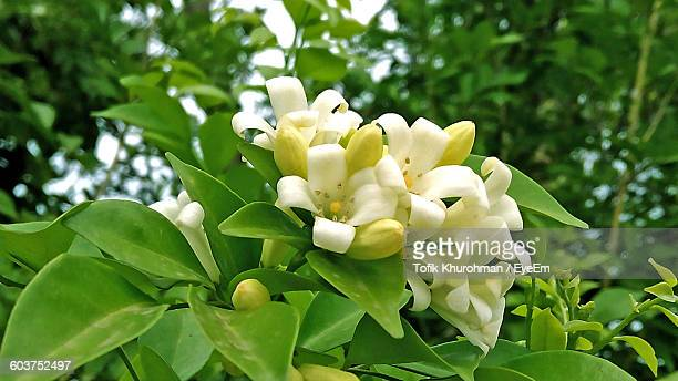 Low Angle View Of Jasmines Blooming Outdoors