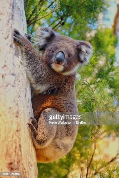 low angle view of koala bear on tree - adelaide stock pictures, royalty-free photos & images