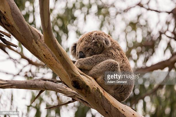 low angle view of koala (phascolarctos cinereus) sleeping in eucalyptus tree, phillip island, victoria, australia - koala stock photos and pictures