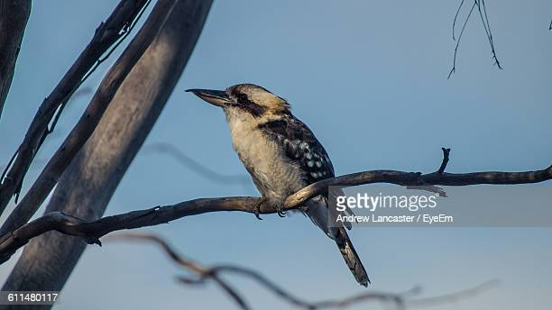 Low Angle View Of Kookaburra Perching On Branch Against Sky