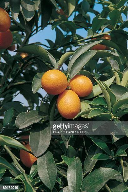 Low angle view of kumquats growing on a Round kumquat tree