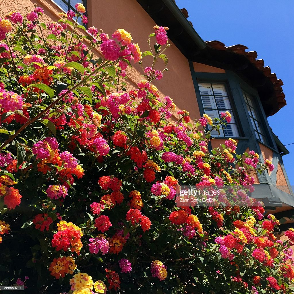 Low Angle View Of Lantana Camara Blooming On Plant Against House : Stock Photo