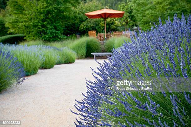 Low Angle View Of Lavender