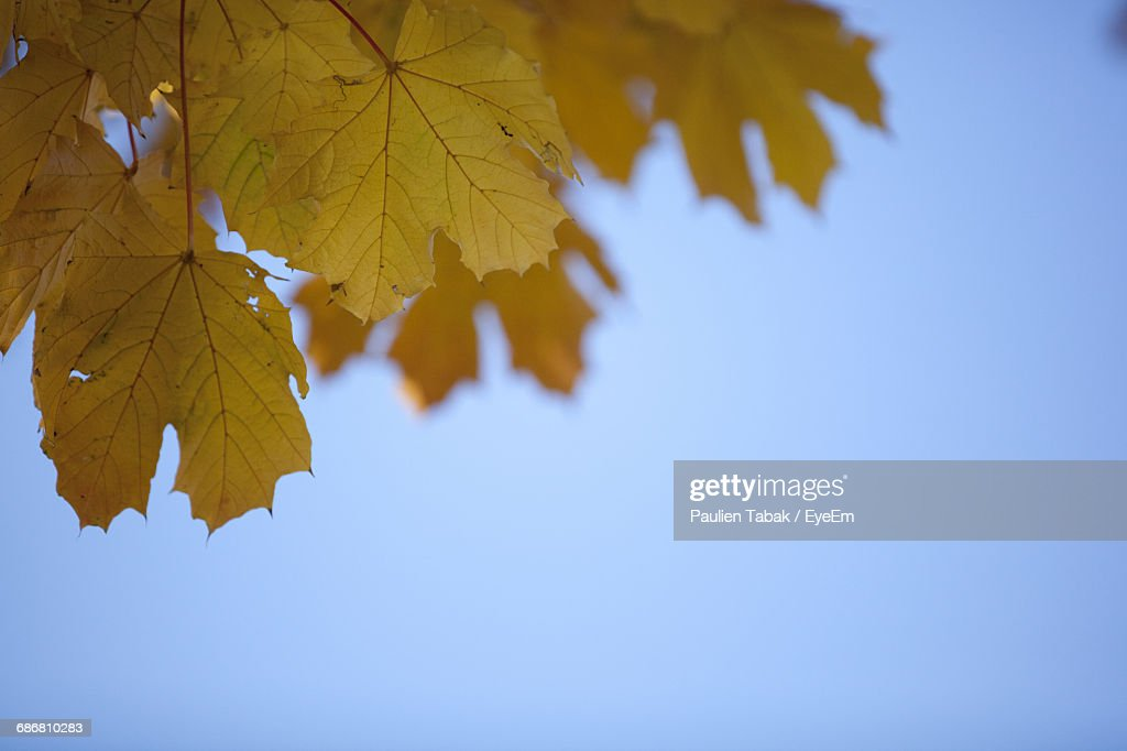 Low Angle View Of Leaves Against Clear Blue Sky : Stock Photo