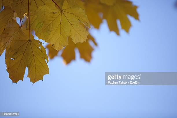 low angle view of leaves against clear blue sky - paulien tabak foto e immagini stock
