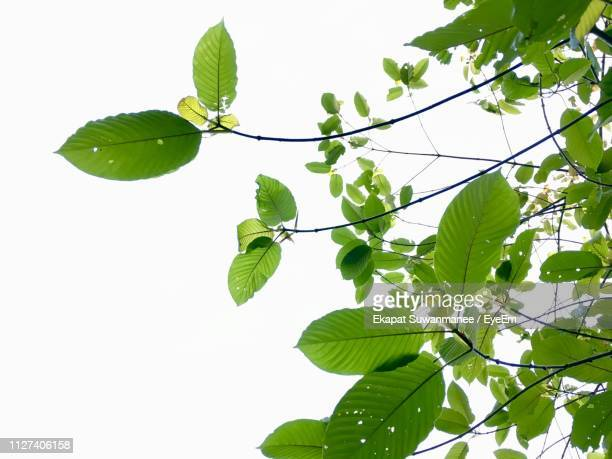 low angle view of leaves against clear sky - ramo parte della pianta foto e immagini stock