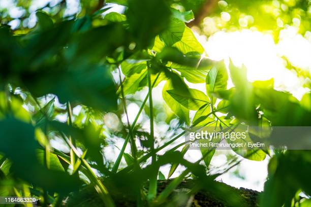 low angle view of leaves against sky - phichet ritthiruangdet stock photos and pictures
