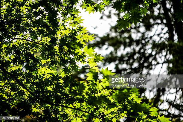 low angle view of leaves on branches - chuncheon fotos imagens e fotografias de stock